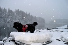2012-01-26  Snowday, Luke Service Dog 046 2